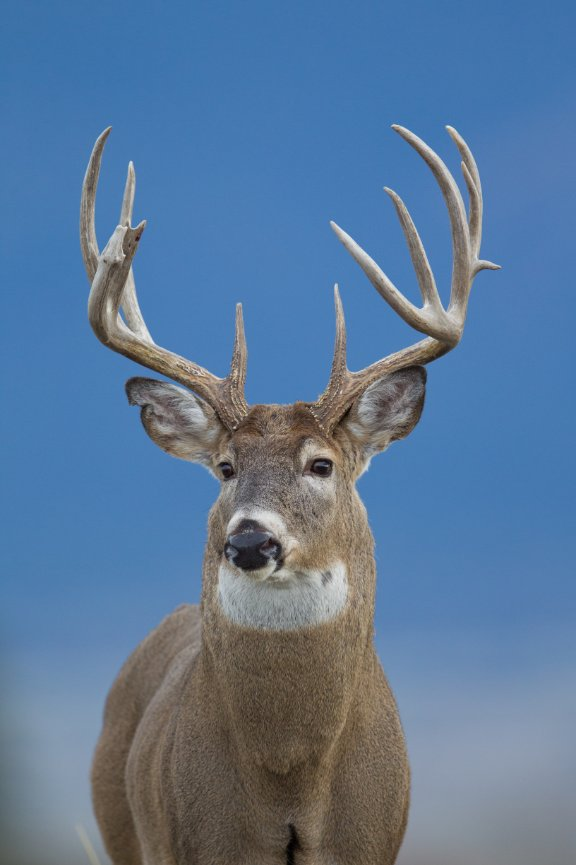 whitetail deer american vision photography